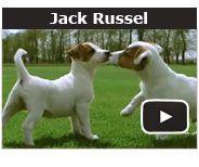 Les croquettes #Royal #Canin Breed Nutrition Jack Russell, sont parfaitement adaptées aux chiens Jack Russell adultes, à partir de l'âge de 10 mois.