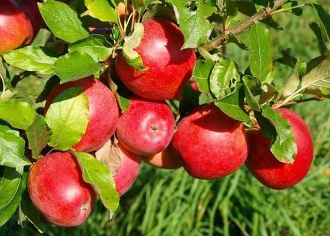 Яблоня вынуждена сбросить некоторые плоды, потому что ветви не выдерживают тяжести
