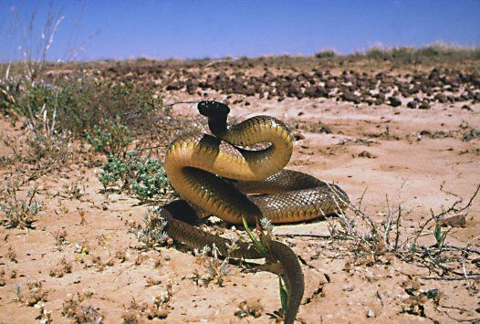 Inland Taipan. The world's most venomous snake, the Inland Taipan is far from the most dangerous. Unlike its congener, the common and fiery-tempered Coastal Taipan, this shy serpent is relatively placid and rarely encountered in its remote, semi-arid homeland. -