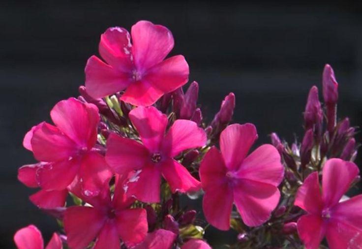 Питомник «Зеленый Капитал» предлагает купить флокс метельчатый Краснодар   http://zelenyi-kapital.ru/novosti/kupit-floks-metelchatyj-krasnodar.html Травянистое многолетнее растение купить флокс метельчатый Краснодар Вы можете для украшения своего сада или дома. Яркий ароматный цветок имеет множество расцветок и будет радовать Вас на протяжении всего летнего сезона.