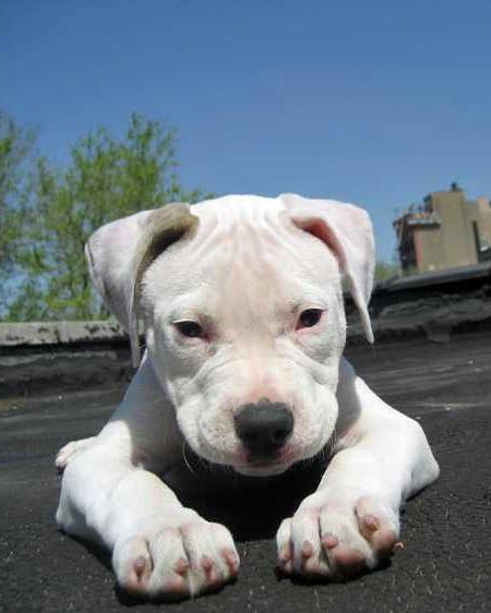 Zella the American Bulldog