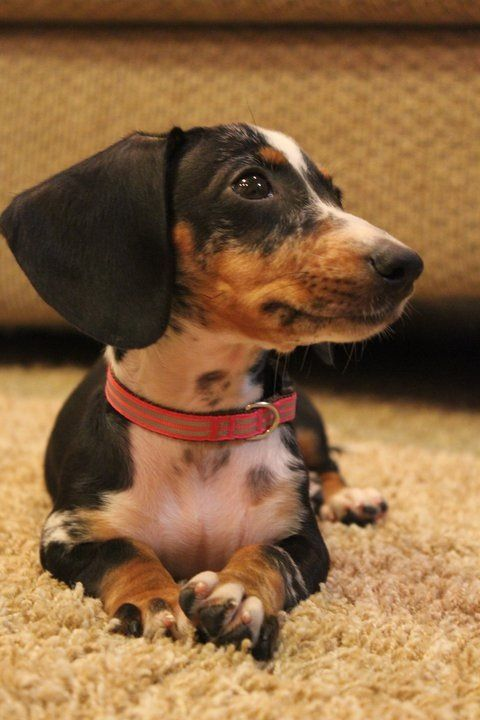 Baby dachshund. Absolutely nothing cuter than a Doxie puppy..... that's how I ended up with 5 of them! lol