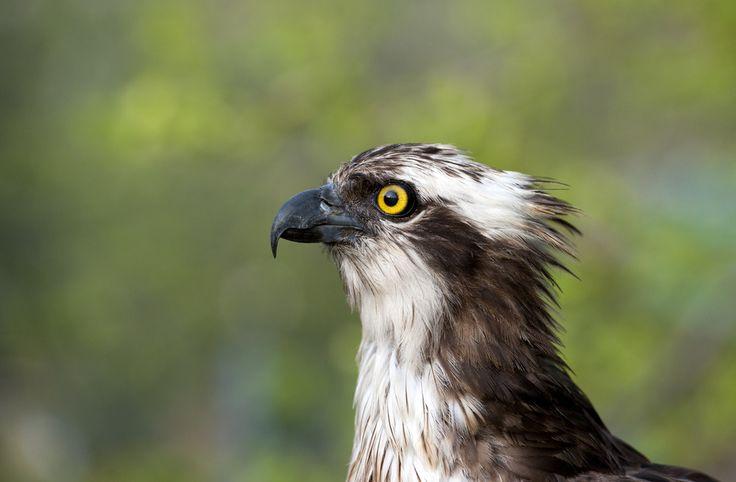 Falco pescatore - Pandion haliaetus - Nikon D700 con Nikon 200/400 mm f/4 #guidofrilli