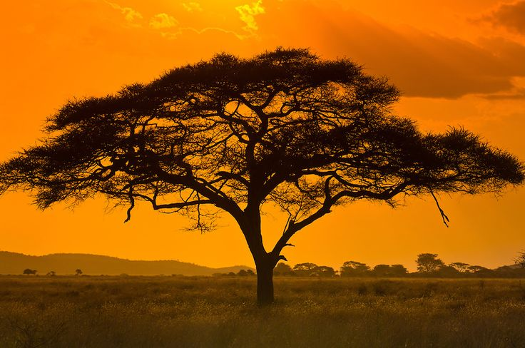 photos of africa | An acacia tree, Serengeti National Park, Tanzania | Blaine Harrington ...