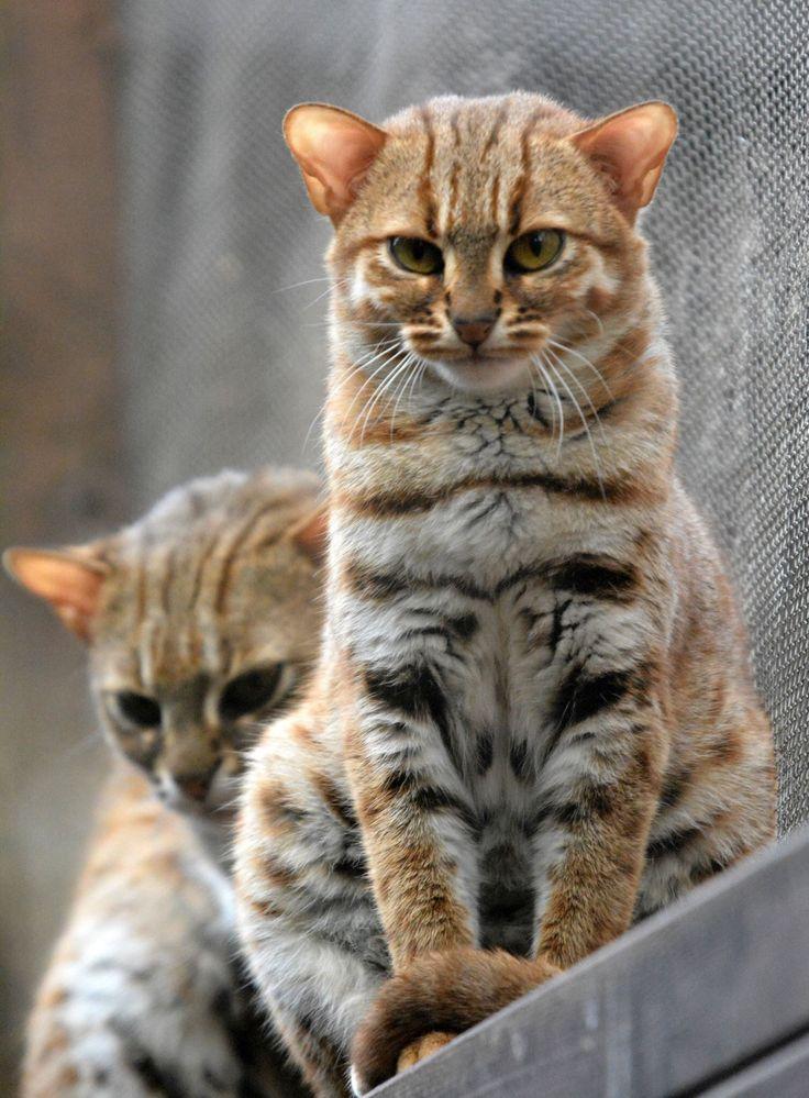 cheshire cat pronunciation