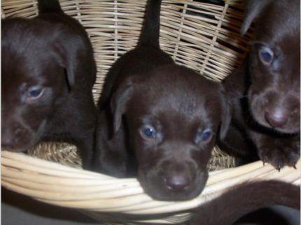 chocolate labrador retriever puppies for sale in Michigan