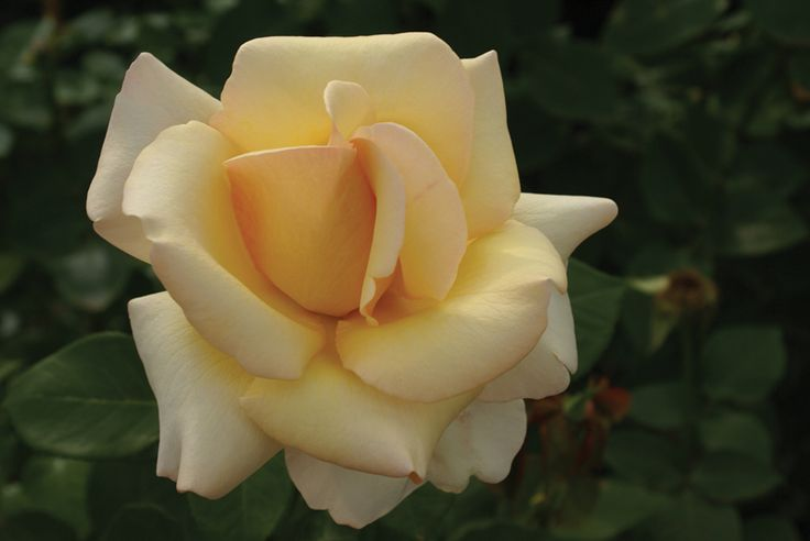The new 'Rhona Lya' rose will quickly grow into a stately bush, neat and upright, carrying its shapely, firmly petalled blooms proudly upright on sturdy stems. The deep cognac colour of the bud flows to hues of deep cream and honey gold in the opening bloom. They have a good...