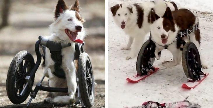 Disabile, un cane in sedia a rotelle scopre la gioia di sciare