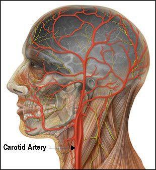 Carotid Arteries - Jugular