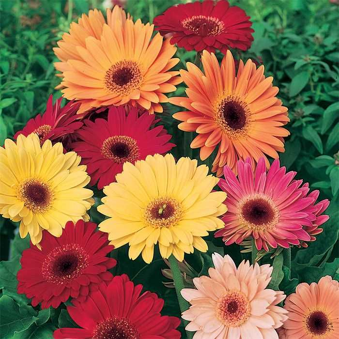 California Giants Mixed Gerbera Gerbera Daisy Flower Seeds Pretty Plants