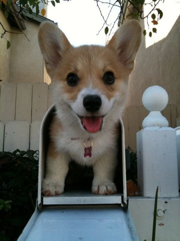 : You'Ve Got Mail, Corgis, Animals, Dogs, Pet, Puppy, Special Delivery, Mailbox