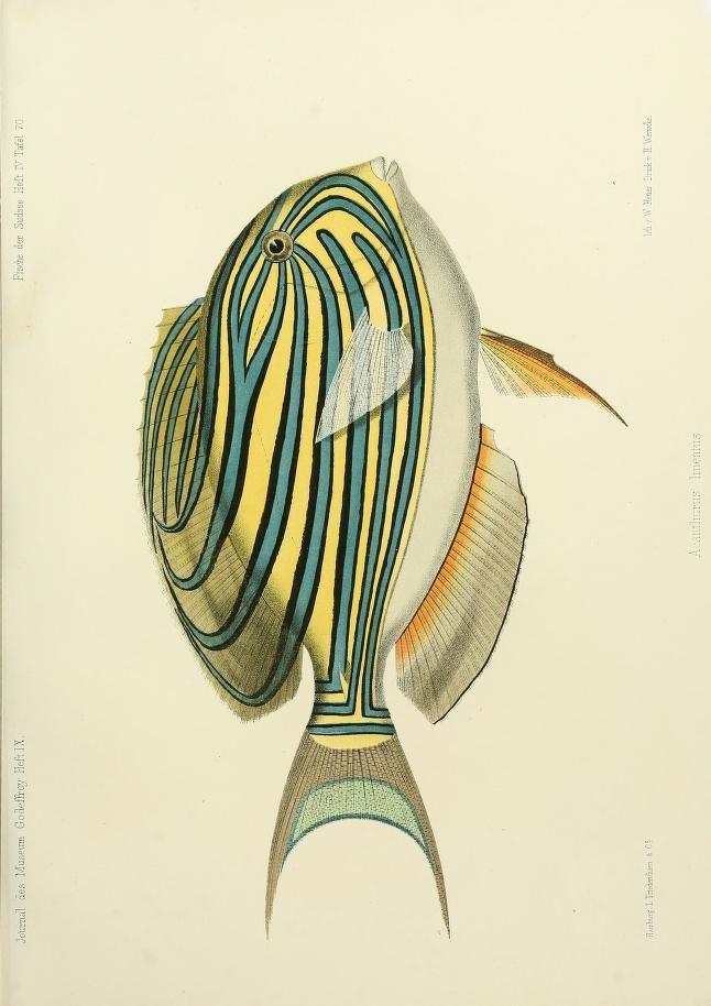 (1873-1875) Journal des Museum Godeffroy. Biodiversity Heritage Library #nature #fish #scientific #illustration