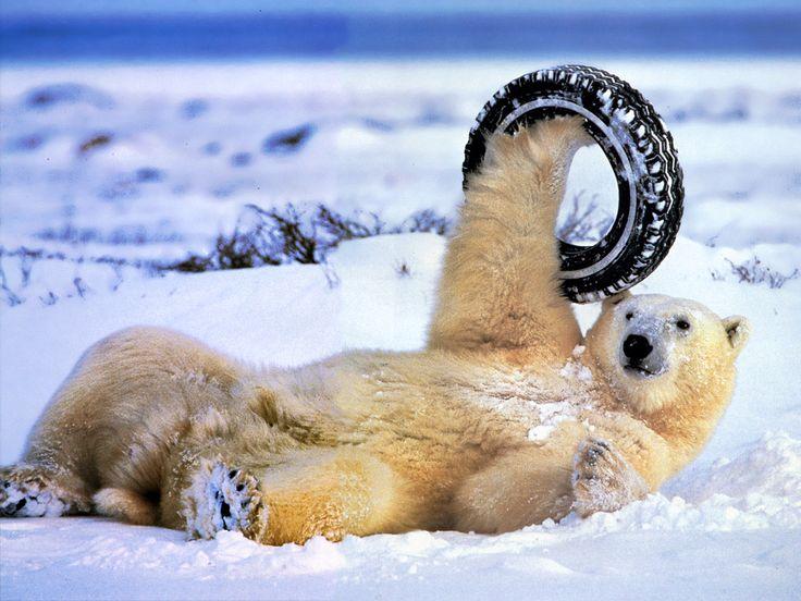 polar bear: Funny Bears, Sled Dogs, Capra Ibex, Polar Bears, Dogs Photography, Polarbear, Funny Stuff, Animal Funny, Bears Funny
