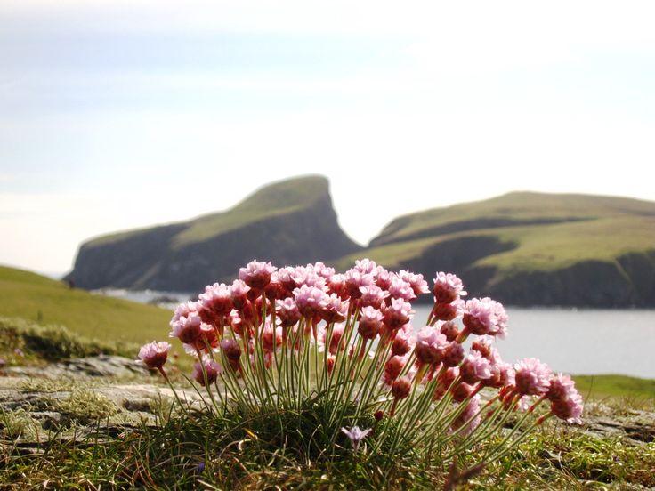 85 best The Flora of Fair Isle images on Pinterest | Fair isles ...