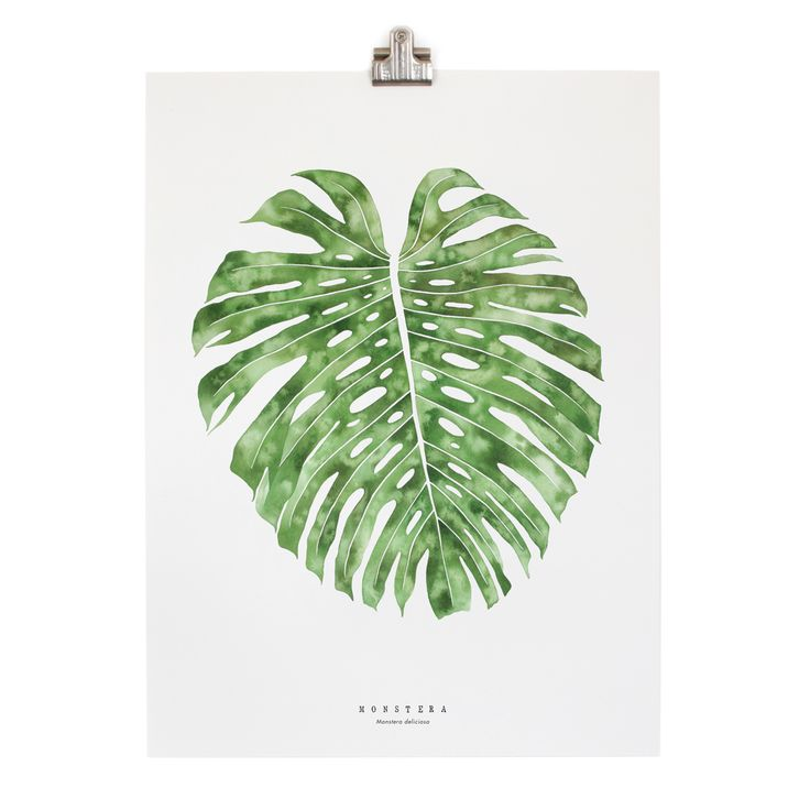 Monstera / Monstera Deliciosa  A single mature monstera deliciosa leaf. Monstera is a genus of around 50  species, one of the most treasured for their unusual leaves with natural  holes. It's my personal favorite. I have painted this leaf with a deep  emerald undertone and subtle watermarks to make it feel alive.  Printed on natural white artist's quality cotton paper. Species identification on front of print. Edition number and print run date stamped on back. Each print is packaged in a…