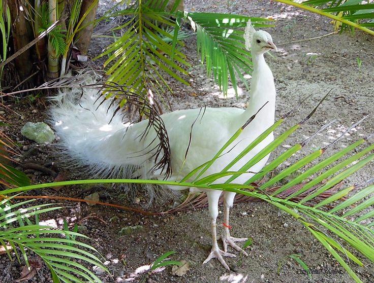 White Peacock Pic taken in Bahamas