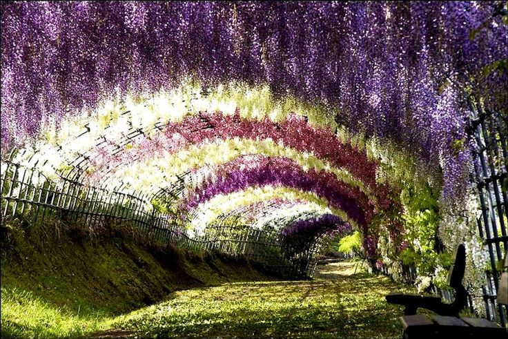 The Wisteria Tunnel of Japan really makes the mood right, doesn't it?