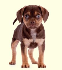 Puggles For Sale In PA - Greenfield Puppies  Omg i neeeeeed him!!!!