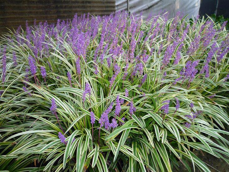 Variegated Flowering Shrubs | ... premium online nursery, delivering young plants to your door