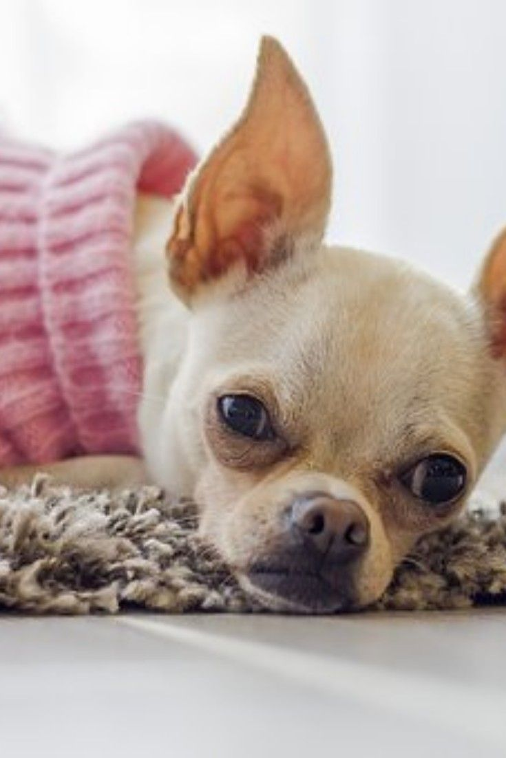 Pin By Ruthie Oaks On Guardians Of The Universe Chihuahua Dogs
