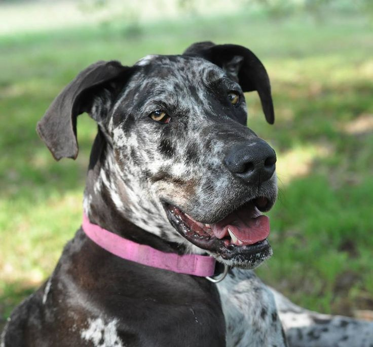 Great Dane dog for Adoption in Bullard, TX. ADN-507513 on PuppyFinder.com Gender: Male. Age: Young