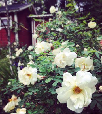 valkoinen juhannusruusu kukkii juhannuksena