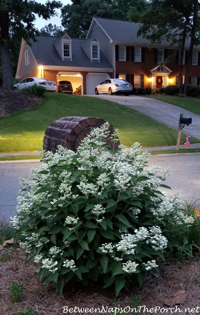 Dharuma Hydrangea A Low Growing Hydrangea That Loves The Sun Full Sun Landscaping Mailbox Garden Southern Landscaping
