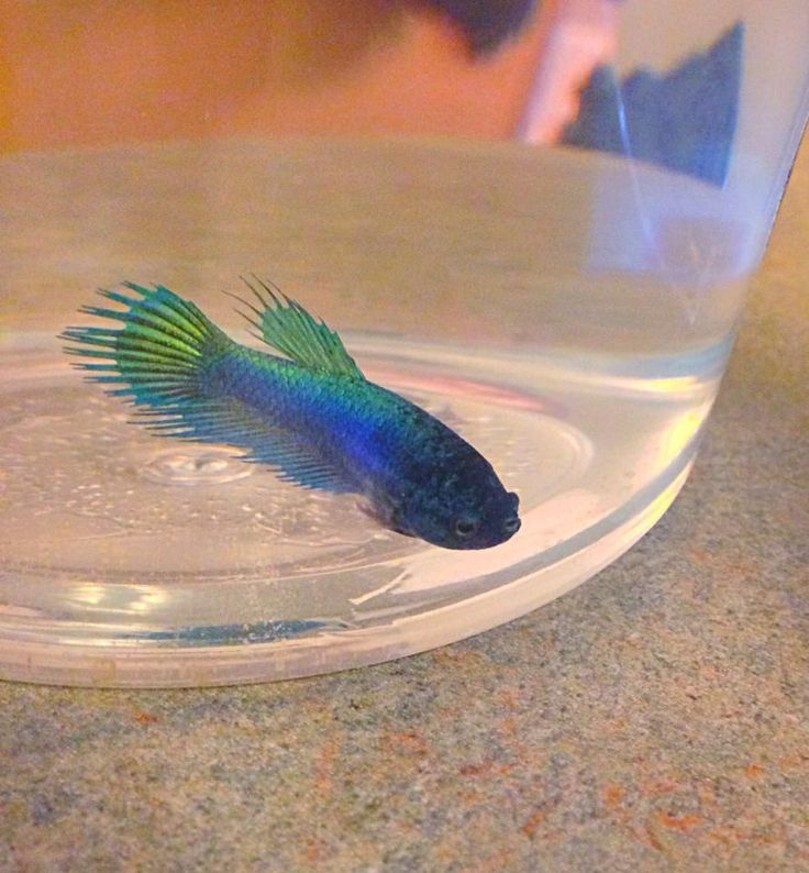1000 images about betta on pinterest for Baby betta fish