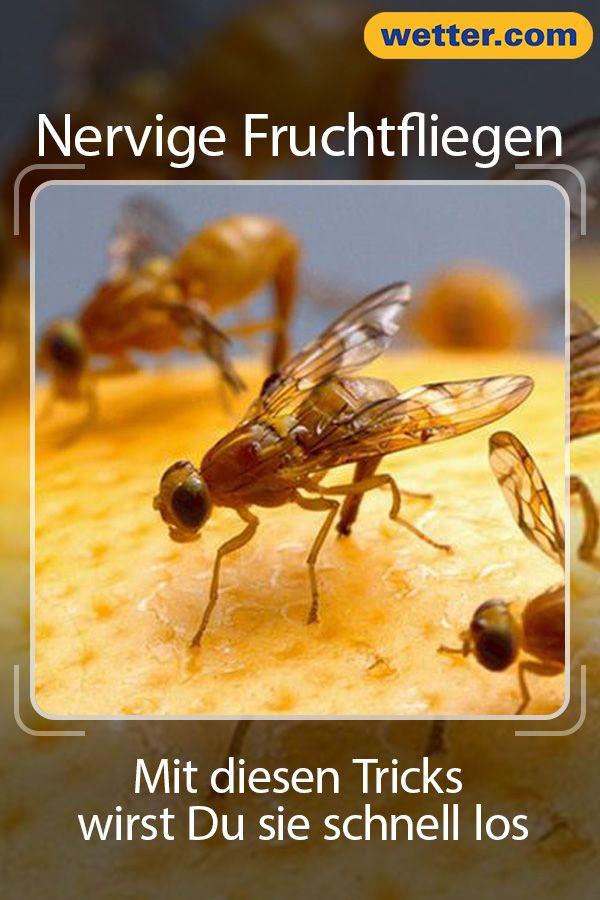 Mit Sen Tipps Wirst Du Nervigen Fruchtfliegen Los Weisheiten Lifehack