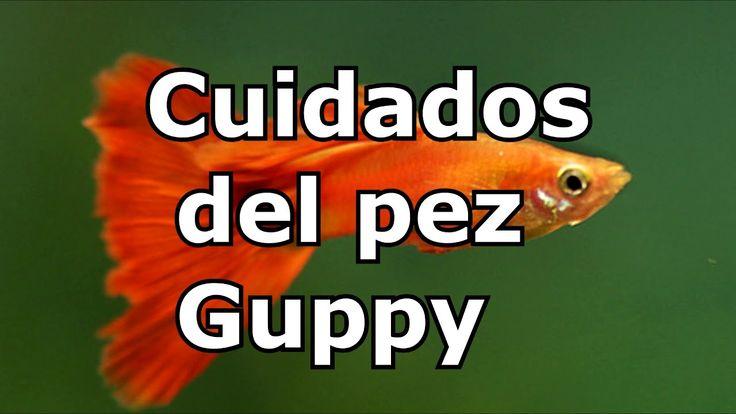 Pez Guppy cuidados para aficionados