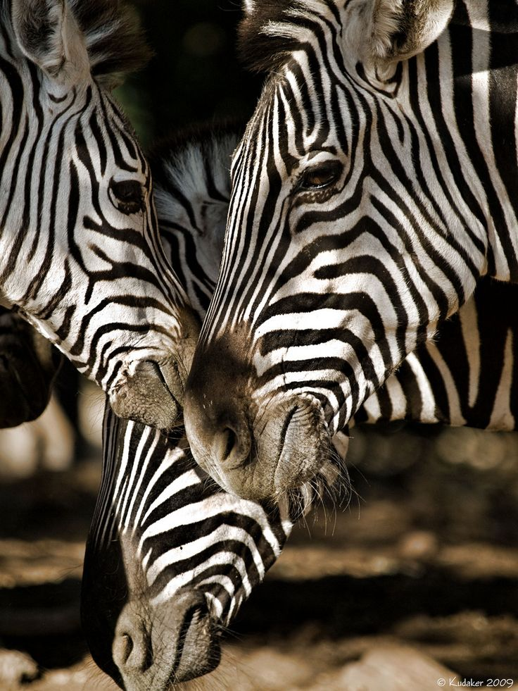There are three species of zebras: the plains zebra, the Grévy's zebra and the mountain zebra. A zebra's stripes come in different patterns unique to each individual. They are generally social animals that live in small harems to large herds. Unlike their closest relatives, horses and asses, zebras have never been truly domesticated.