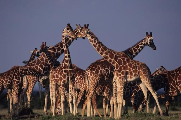 """20 Things You Might Not Know About Giraffes: """"June 21, 2014 will be the first ever World Giraffe Day."""""""