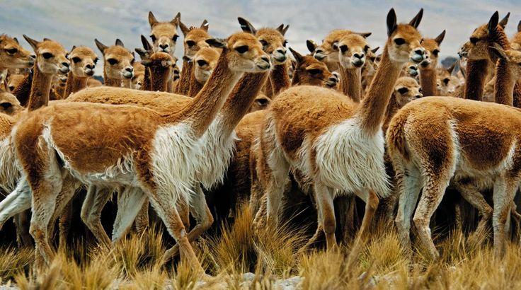 El chaccu, milenaria tradición para trasquilar vicuñas