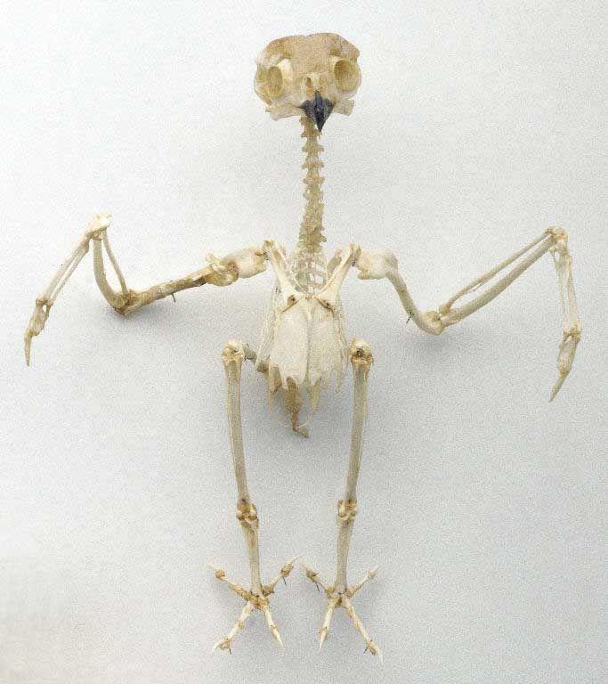 Owl Skeleton Illustration Owl Front View Of A Tawny Owl