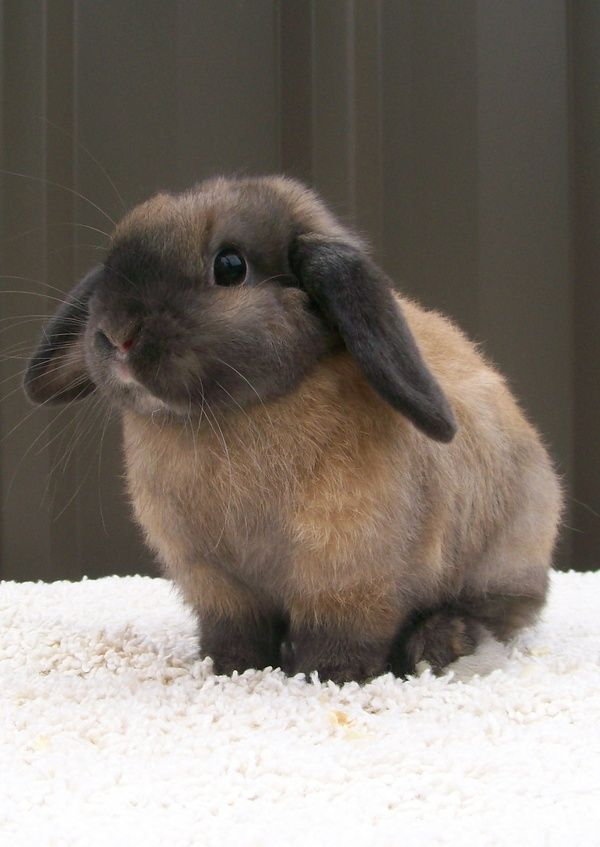This mini lop is colored like my own bunny who is a Netherland Dwarf. I call…