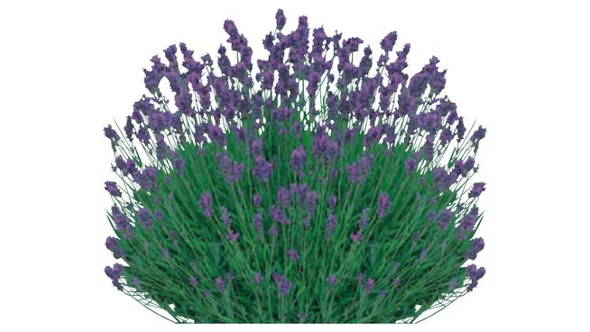 Large preview of 3D Model of Lavender (high quality)