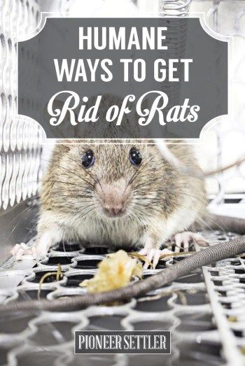 How To Get Rid Of Mice In Your House Humanely Gets Rid And Of