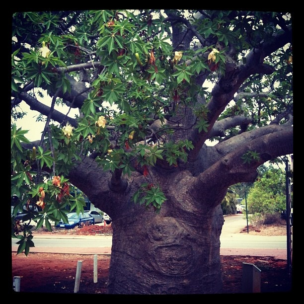 Broome, WA has the most amazing trees, boabs. Each and every tree has a character of its own!