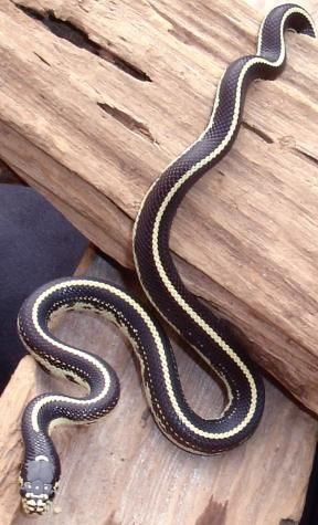 what kind of snake is black with a white belly