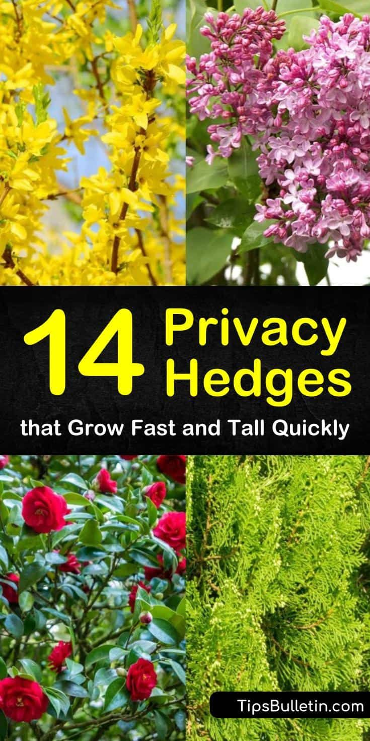 14 Privacy Hedges That Grow Fast And Tall Quickly Garden