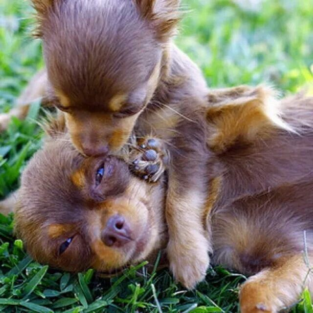 ♡ Sweet chihuahuas