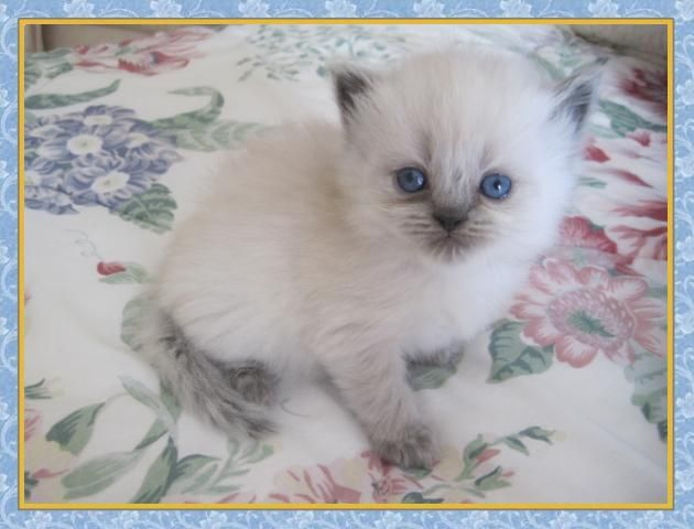 Blue point himalayan kittens for sale in georgia