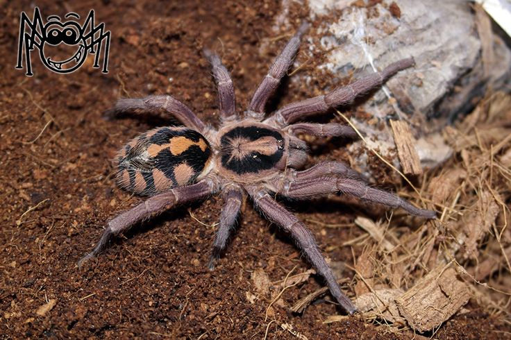Pet tarantula on face - photo#25