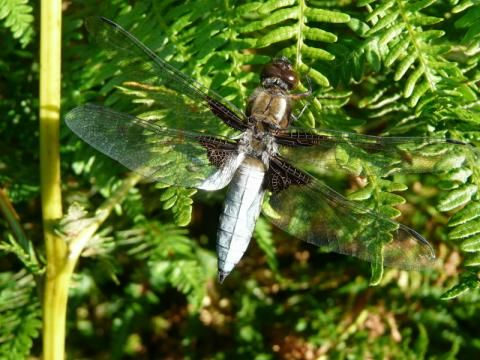 Broad Bodied Chaser: the boys in blue | Nature Notes from Dorset