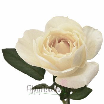 Fiftyflowers Whipped Frosting Sweetheart Garden Rose