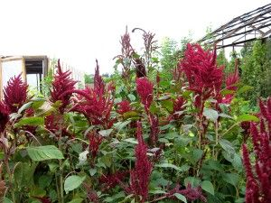 Amaranth use