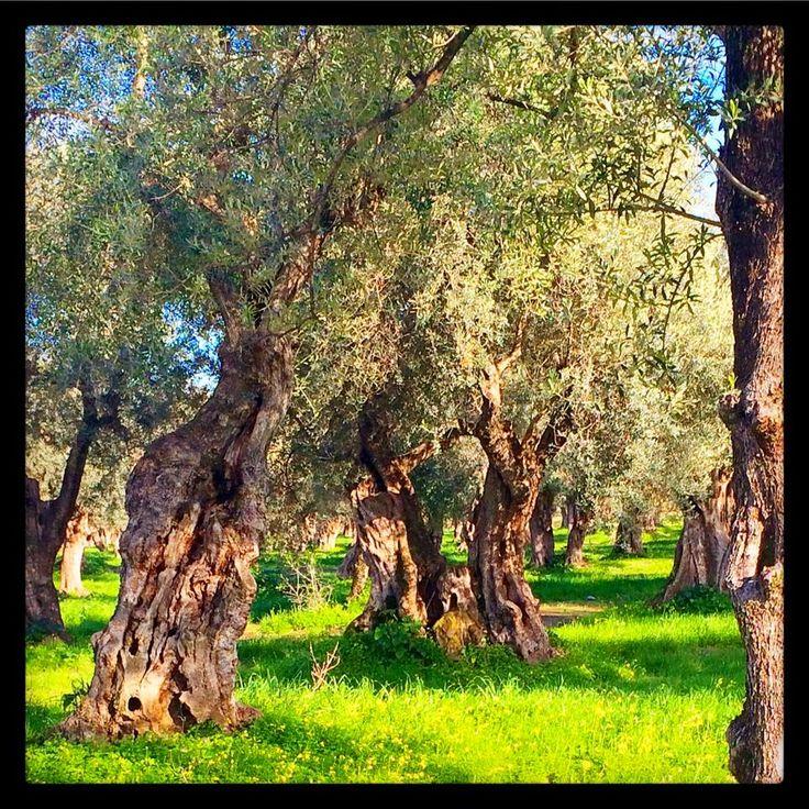 Ulivo secolare cultivar Dolce di Rossano. 800 anni di tradizione olearia.