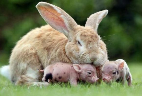 big bunny and two adorable baby pigs