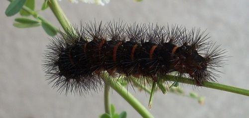 Black caterpillar with spikes and red bands or stripes. Saw one of these crawling across the lawn the other day. They are huge, but beautiful.
