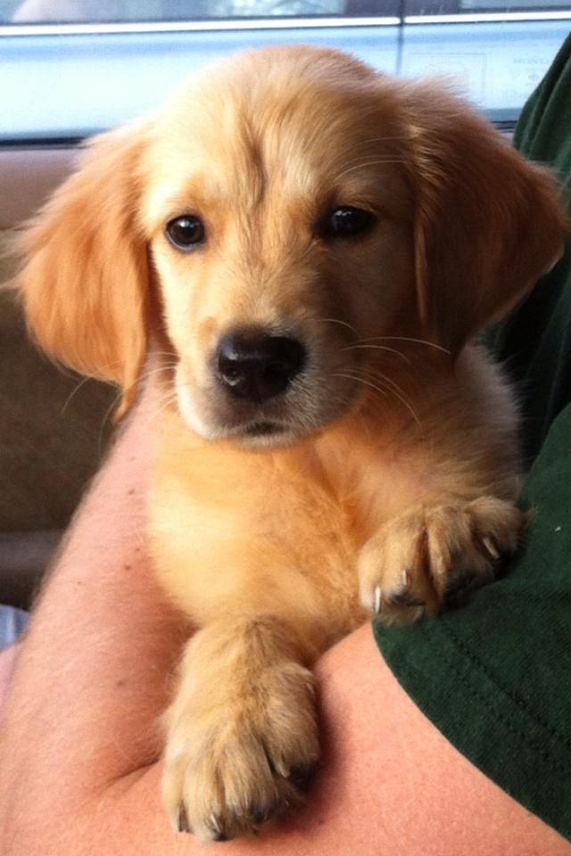 Golden Lab Puppy (golden retriever labrador retriever) Cutest puppy ever.